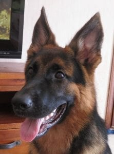 Young German Sheppard dog named Tango